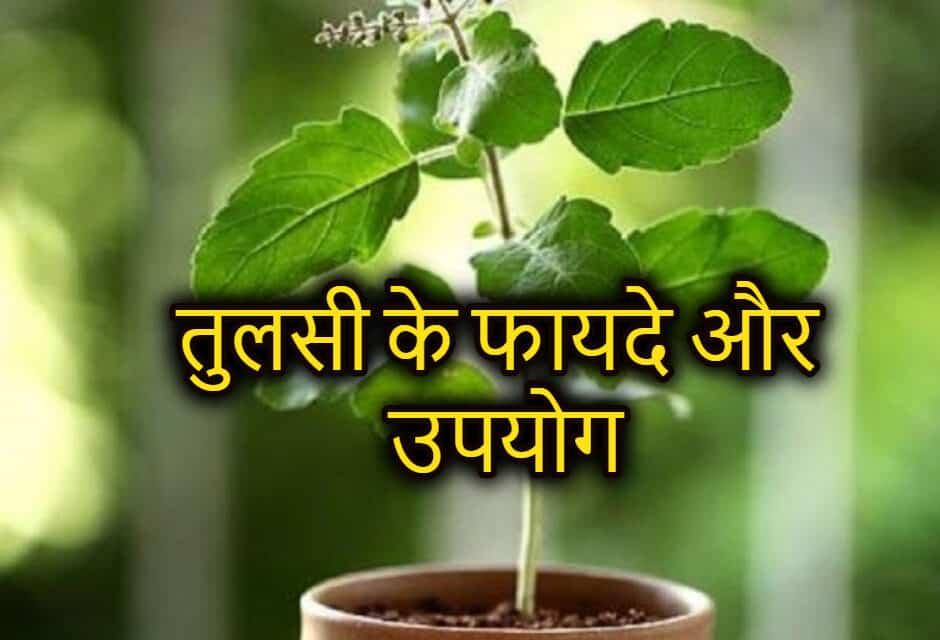 तुलसी के फायदे और उपयोग – basil seeds in hindi