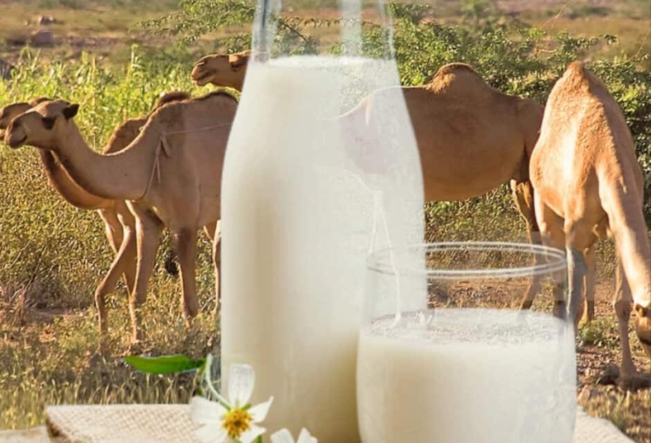 ऊंटनी के दूध के फ़ायदे – Camel Milk Benefits